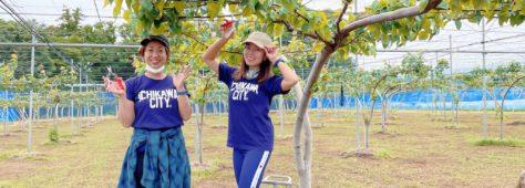 イチカワの梨といったら!ここです。梨園のお手伝い。