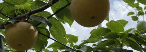 市川の梨がはじまりました!